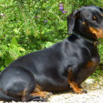The Best Dog Food For Dachshunds With Skin Allergies